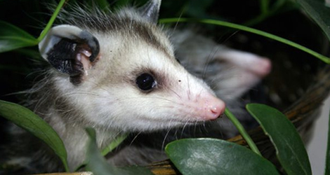 Possum Removal & Control Service in Brantford