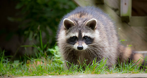 Raccoon Control & Removal Services In Brantford