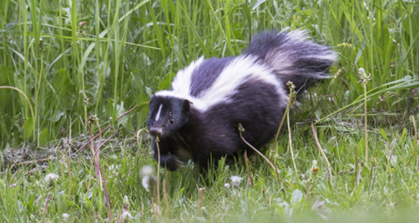 Skunk Removal & Control Services In Brantford