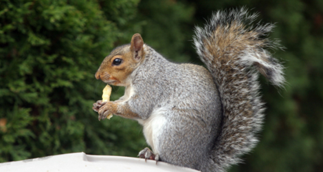 Squirrel Control & Removal Service In Brantford